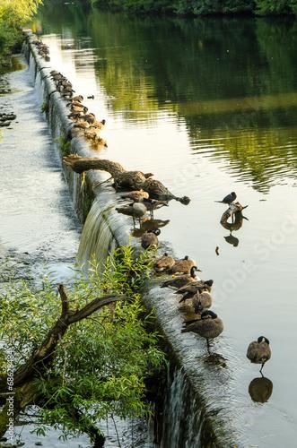 canvas print picture Gaense bei Sonnenlicht am Fluss