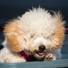 Adorable pure breed bichon frise dog