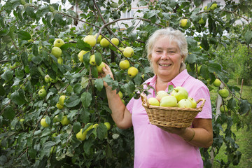 Elderly woman collecting apples in the garden