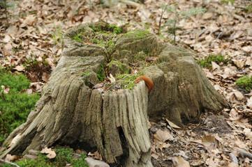 Toter Baumstumpf mit Schnecke