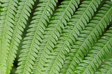 texture of fern, close-up texture of fern pattern in forest