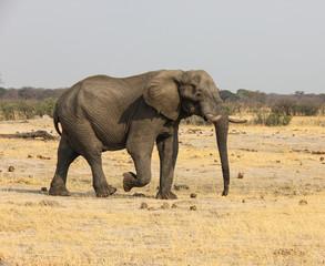 Large elephant in zimbabwe