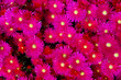 canvas print picture - Drosanthemum