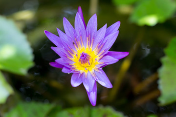 Blue and Yellow colored lotus