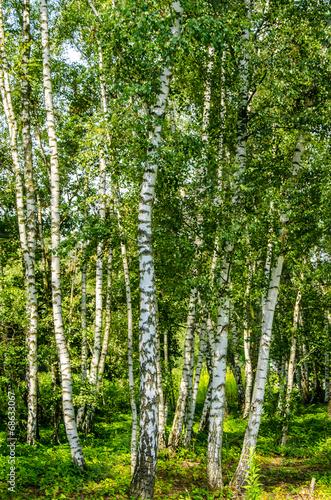 canvas print picture Birkenwald im Sonnenlicht