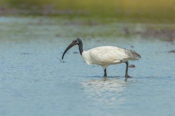Single Black-headed ibis  finding food