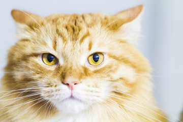 Red cat, long haired siberian breed