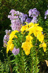 yellow lily and violet phlox on the garden