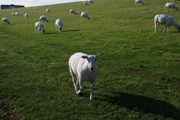 Husum mit Schafen am Deich 19