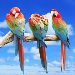 Scarlet Macaw with beautiful sky.