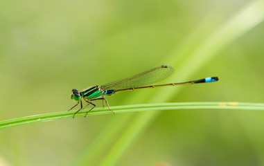 The green dragonfly hold on a grass meadow
