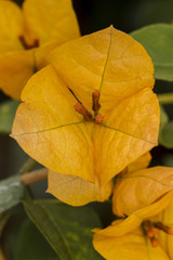 Close macro view of a beautiful yellow bouganvilla flower.