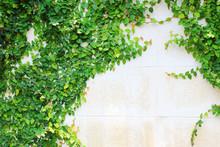 Zielona Creeper roślin na ścianie.
