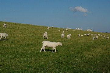 Husum mit Schafen am Deich 8