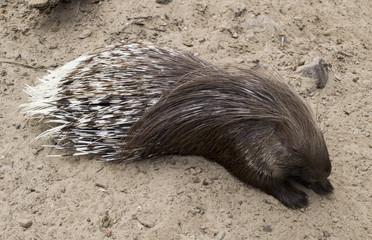 wild porcupine