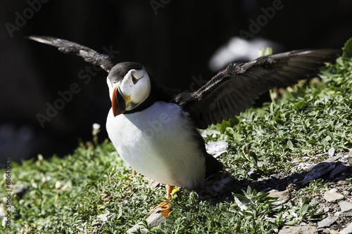 canvas print picture Puffin im Flug