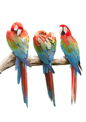 Colorful Red-and-green Macaw bird isolated on white background (
