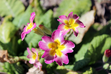 beautiful flowers of primula
