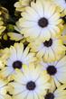 Obrazy na płótnie, fototapety, zdjęcia, fotoobrazy drukowane : Close up view of the beautiful Osteospermum white flowers.