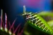canvas print picture - Venusfliegenfalle