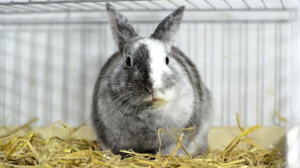 Young gray rabbit in the Cage (close-up video)