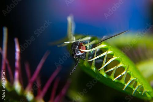 canvas print picture Venusfliegenfalle