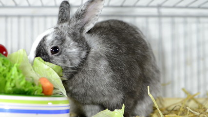 Small grey Rabbit in a cage
