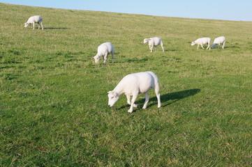Husum mit Schafen am Deich 4