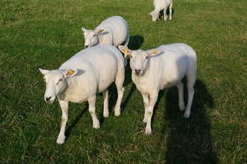 Schafe an Husums Deich 9