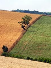 Alberi isolati nella campagna toscana, a Semproniano