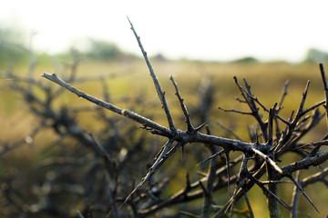 Thorn bush, outdoors