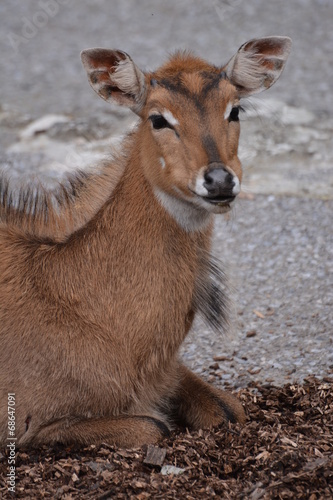 Poster Antilope Young Nilgai Antelope