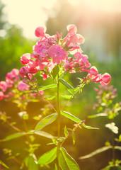 Vivid pink flowers at garden
