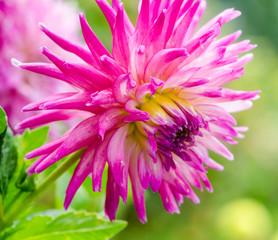 Closeup on pink dahlia flower :)