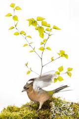 Pinson des arbres - Fringilla coelebs - Common Chaffinch