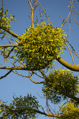 mistletoe on convoluted tree