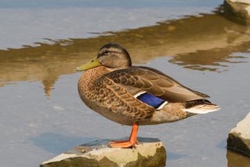 Mallard Duck in eclipse plumage