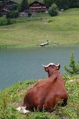 Cow lie on pasture and looks to the lake