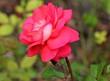 canvas print picture - Одинокая розовая роза