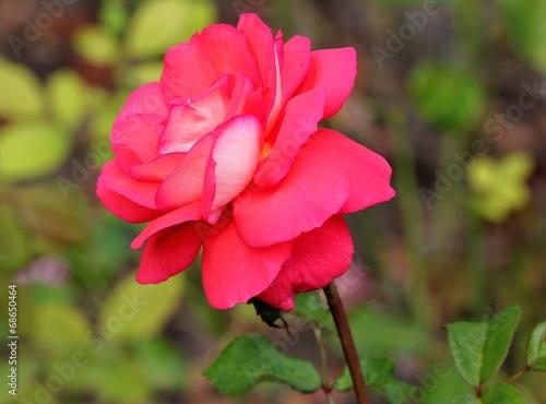 canvas print picture Одинокая розовая роза