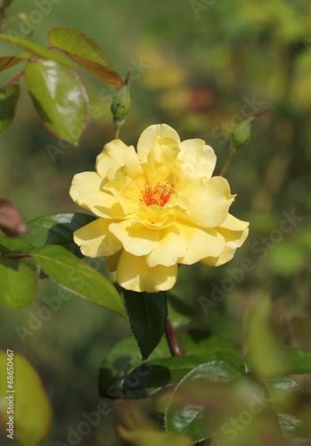canvas print picture Жёлтая роза
