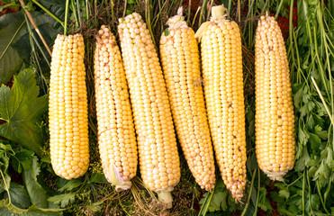 Yellow, fresh corn from the garden
