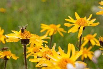 fiori gialli con ape