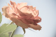 canvas print picture - Nature. Orange soft pink flower for background