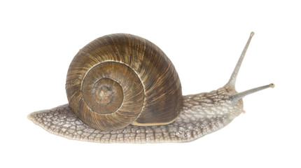 Burgundi snail or Escargot, Helix pomatia isolated