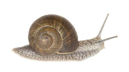 Burgundi snail or Escargot, Helix pomatia isolated