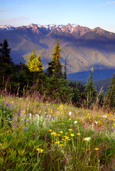 Wildflowers Cover Hillside Olympic Mountains Hurricane Ridge