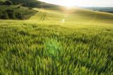 Fototapety Beautiful landscape wheat field in bright Summer sunlight evenin