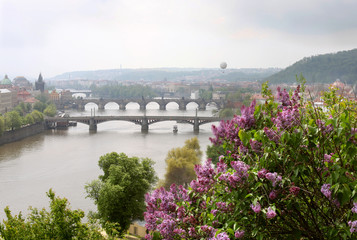 The blooming bush of lilac against Vltava river