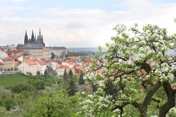 The blooming apple tree in Prague